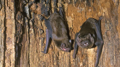 How bats affect pest control