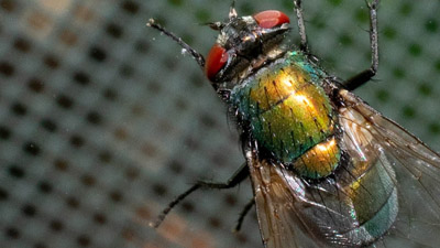Controlling flies in commercial food sites